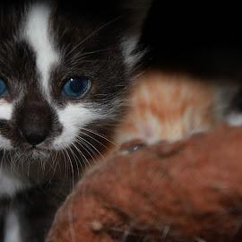 Sweet kitty by Tammy Jones Perdue - Animals - Cats Kittens ( kittens )