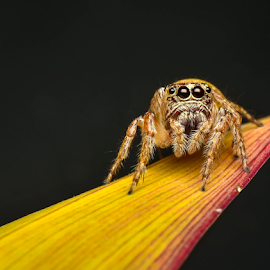 Can you play slide with me? by Dave Lerio - Animals Insects & Spiders ( habronattus, salticidae, jumping spider,  )