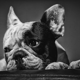 by Fabb Winter - Animals - Dogs Portraits ( bouledogue francais, b&w, chien, french bulldog, cute )