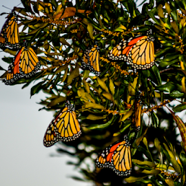 Butterfly tree by Diane Davis - Animals Insects & Spiders