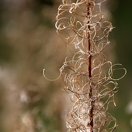 Rosebay Willowherb Abstract by Chrissie Barrow - Nature Up Close Other plants ( abstract, plant, tendrils, green, brown, rosebay willowherb, stem, sunlight, bokeh, closeup )