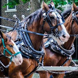 CIrcus Parade by Christine May - Animals Horses ( parade, animals, horses, clydesdale horses, horse, animal )