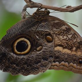 Butterfly by Peter Murnieks - Animals Other ( butterfly, dark color, flutter, blending, dark, enviroment, branch, twig, camafloge, beauty, small, eye )