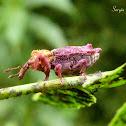 Mesoptiliine Weevil