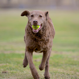 Blu by Martha Pope - Animals - Dogs Running ( shelter, adopt, rescue, puppy, dog, chesapeake bay retreiver )