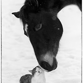 Little Buddy by Pam  Kipper Gabriel - Animals Horses ( cat, friends, equine, pets, horse,  )