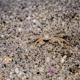 by Aires Spaethe - Animals Sea Creatures ( sand, sand crab, florida, beach, crab, animal )