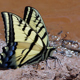 Lake  Butterfly by Jo Gonzalez - Animals Insects & Spiders