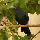 Asian Koel(Male)