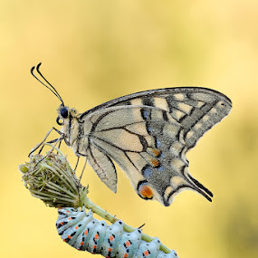 Papilio Machaon by Eric Niko - Animals Insects & Spiders ( sigma 150, papilio machaon, d700, caterpillar, yellow,  )