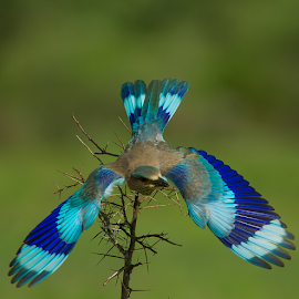 wings by Jineesh Mallishery - Animals Birds