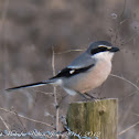 Southern Grey Shrike; Alcaúdon Real