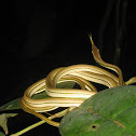 Green-striped vine snake