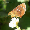 Chestnut bob skipper