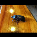 Rhinocerous beetle/coconut beetle