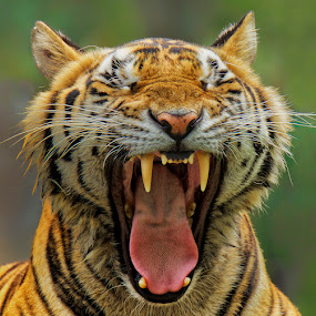 Yawning by Charliemagne Unggay - Animals Other Mammals ( wild, big cats, mammal, portrait, animal )