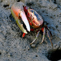 Shio maneki fiddler crab