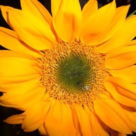 Yellow flower by Sriparna Banerjee Raja - Novices Only Flowers & Plants