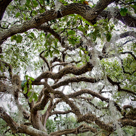 New Orleans City Park by Cody Walk - City,  Street & Park  City Parks ( new orleans, park, nature, trees, landscape, oak tree )