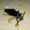 Ground beetle/Escarabajo de suelo
