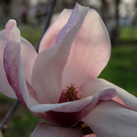 Magnolia blossom by Theresa Campbell - Novices Only Flowers & Plants