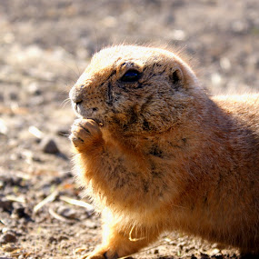 prairie dog by JenWil   - Animals Other Mammals