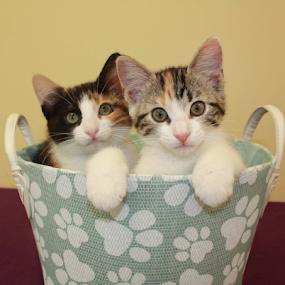 calico sisters by Sharon Scholtes - Animals - Cats Kittens ( calico, sisters, cat, kitten, blue, basket, feline )