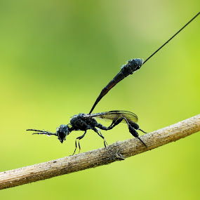 The Wasps Parasite by Ade Yuda - Animals Insects & Spiders ( macro, green, parasite, insect, wasps )