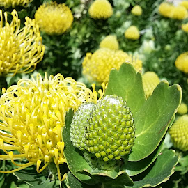 pincushion by Erna Moolman - Nature Up Close Other plants