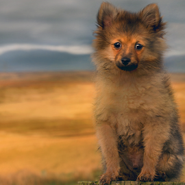 hugo 13 weeks scotland by Michael Sweeney - Animals - Dogs Puppies ( natural light, nikond800 puppy, scottish, michael m sweeney, highlands, d800, pet, pomerainam, puppy, nikon, dog, hugo pomerainam, animal,  )