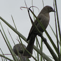 Shiny Cowbird (female)