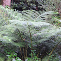Hawaiian tree-fern