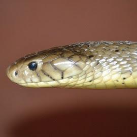 Cobra by Richard Booysen - Animals Reptiles