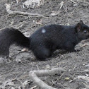 Black phase gray squirrel