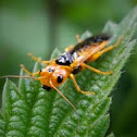 Orange Sawfly