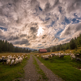 A flock of sheep heading to safety by Stanislav Horacek - Landscapes Prairies, Meadows & Fields