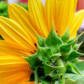 Rear beauty by Sanjeev Goyal - Instagram & Mobile Android ( hairy, petals, green, white, yellow, Hope )
