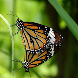 Butterfly by Mukesh Mishra - Novices Only Macro ( butterfly mate lovely photography surat,  )