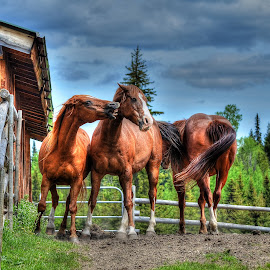 Go On, Give Us A Kiss by Skye Ryan-Evans - Animals Horses ( horse humour, horses, horse-lovers, horse ranch, funny horse, horse friends, playful horse, horses and barn, herd of horses, horse pen, horsing about, horse humor, horse-play,  )