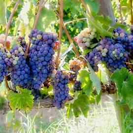 Vineyard by Katarzyna Malinowska - Nature Up Close Gardens & Produce ( tuscany, grapes, maremma italy )