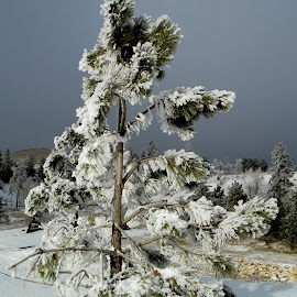Tree Freeze by Vicki Strickland - Novices Only Landscapes ( deadwood hill, black hills sd, beautiful, trees, frozen )