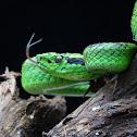 Gushnayera or Guatemalan palm viper