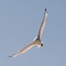 Seagul by Douglas Payne - Novices Only Wildlife