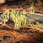 California Fungi