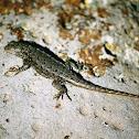 Northwestern Fence Lizard