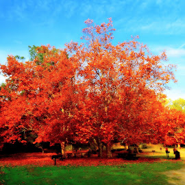 Autumn Oak by Brian Blood - City,  Street & Park  City Parks ( red, park, tree, autumn, fall,  )