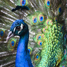 Green Peafowl by David Montemayor - Animals Birds ( peafowl, peacock,  )
