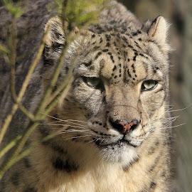 Snow Leopard by Ralph Harvey - Animals Lions, Tigers & Big Cats ( wildlife, ralph harvey, snow leopard, marwell zoo, animal )