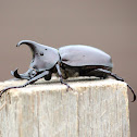 Rhinoceros Beetle (Male)