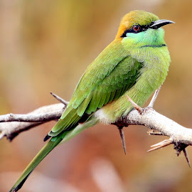 by Sankaran Balaji - Animals Birds (  )